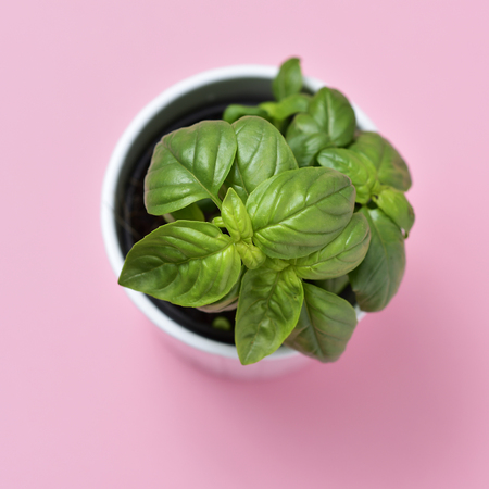 plant pot: high-angle shot of a basil plant in a white ceramic plant pot on a pink background