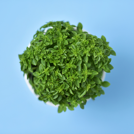 plant in pot: high-angle shot of a green bush basil plant in a white ceramic plant pot on a blue background Stock Photo