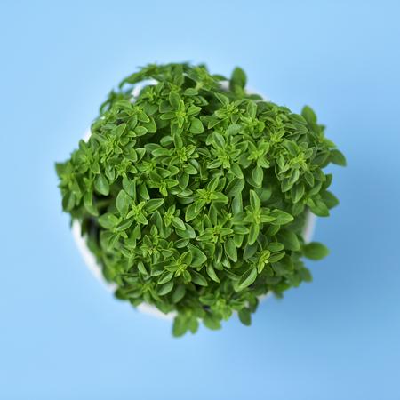 albahaca: Tiro de alto ángulo de una planta de albahaca arbusto verde en una olla de planta de cerámica blanca sobre un fondo azul