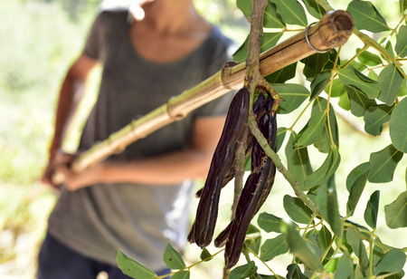closeup of a young caucasian man hitting with a stick the branches of a carob tree during the harvesting of the fruits, in Spain