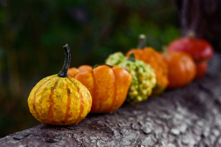closeup of some different pumpkins in line on the branch of a pine tree