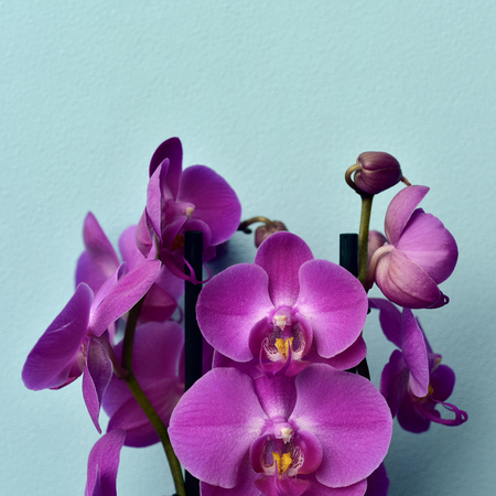 some pink Phalaenopsis orchids on a blue background