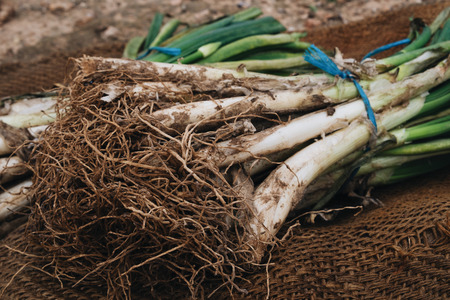 calsotada: closeup of a bunch of raw calcots, sweet onions, typical of Catalonia, Spain