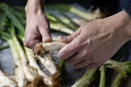 calsotada: closeup a young man cutting the roots of some raw calcots, sweet onions typical of Catalonia, Spain