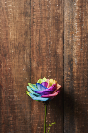 closeup of a rose with its petals with the colors of the rainbow flag against a rustic wooden background with a blank space on top