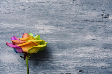 closeup of a rose with its petals with the colors of the rainbow flag against a gray rustic wooden background with a blank space on the right Stock fotó