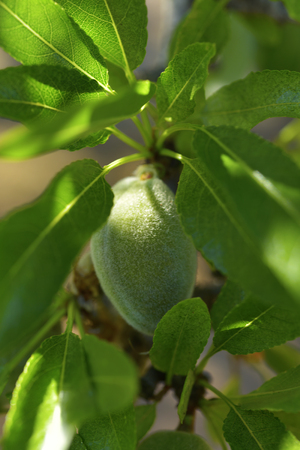 closeup of a branch of an almond tree with some green almonds