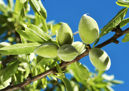 closeup of a branch of an almond tree with some green almonds against the blue sky 版權商用圖片 - 77880178