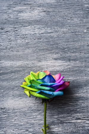 closeup of a rose with its petals with the colors of the rainbow flag against a gray rustic wooden background with a blank space on top