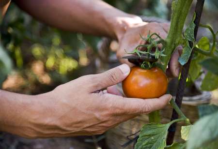 closeup of a young caucasian man picking a tomato from the plant in an organic orchard