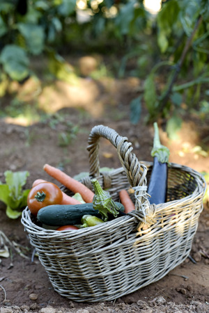 growers: closeup of a rustic wicker basket full of vegetables freshly collected in an organic orchard, placed on the ground