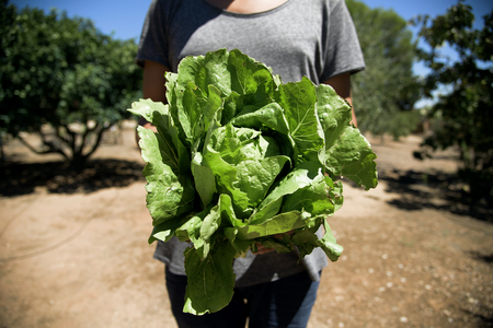 closeup of a young caucasian man with a romaine lettuce freshly collected in an organic orchard Stock Photo