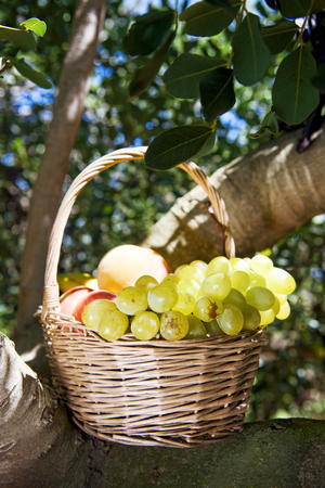growers: closeup of a rustic basket full of fruit freshly collected in an organic orchard, placed on the branches of a tree