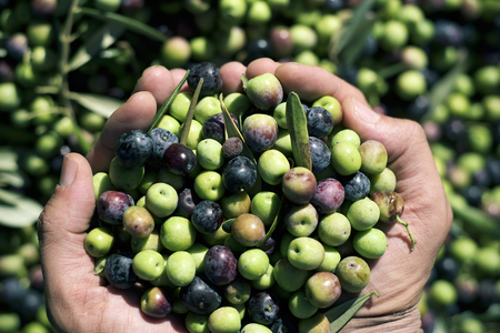 closeup of a young caucasian man with a pile of olives freshly collected during the harvesting in an olive grove in Catalonia, Spain