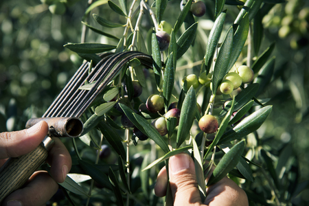 closeup of a young caucasian man harvesting arbequina olives in an olive grove in Catalonia, Spain, with a comb-like tool