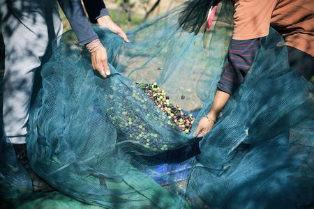 close-up van een jonge blanke man en een jonge blanke vrouw met een net vol arbequina olijven tijdens het oogsten in een olijfgaard in Catalonië, Spanje