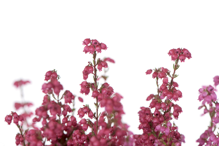 closeup of the pink flowers of a bell heather plant against a white background Stock Photo