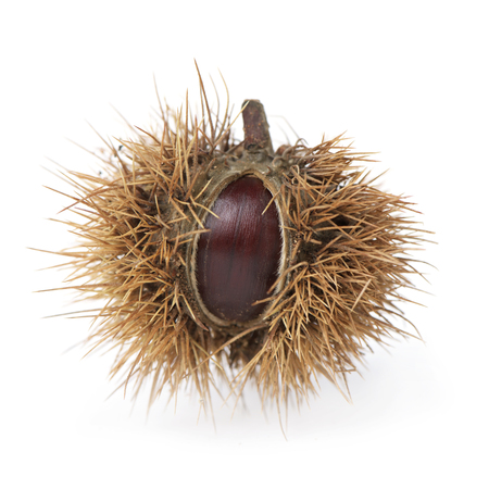 closeup of a chestnut in its spiky pod a white background