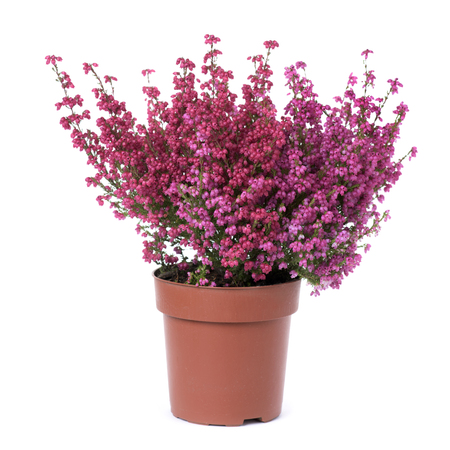 a bell heather plant with pink flowers in a brown plastic plant pot, on a white background