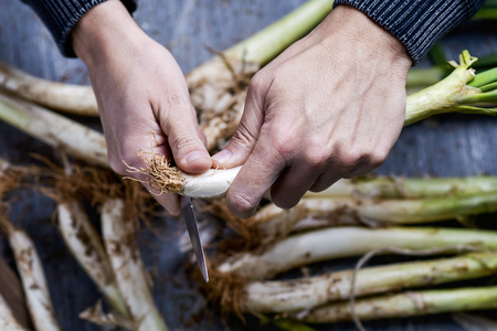 closeup a young caucasian man cutting the roots of some raw calcots, sweet onions typical of Catalonia, Spain