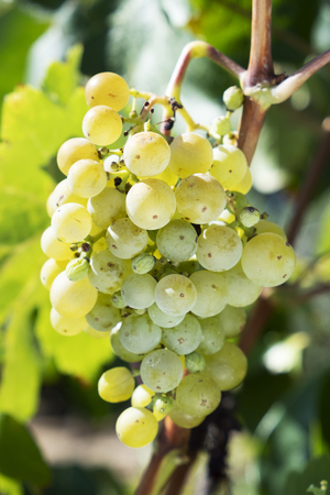 closeup of a bunch of white grapes hanging on the grapevine in an organic vineyard Banque d'images