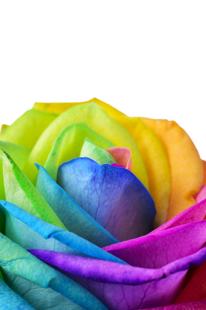 closeup of a rose, with its petals with the colors of the rainbow flag, against a white background with a blank space on top