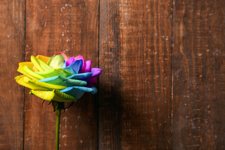 closeup of a rose, with its petals with the colors of the rainbow flag, against a rustic wooden background with a blank space on the right Stockfoto