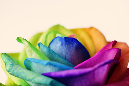 closeup of a rose, with its petals with the colors of the rainbow flag, against an off-white background