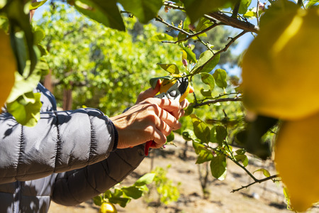 closeup of a young caucasian man collecting a lemon from a lemon tree using a pair of pruning shears Reklamní fotografie