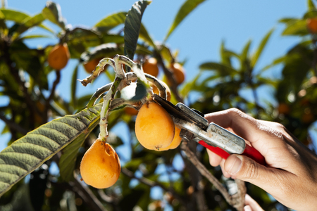closeup of a young caucasian man collecting a loquat from a loquat tree using a pair of pruning shears