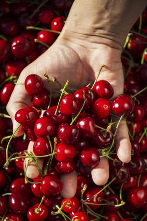 closeup of a young caucasian man outdoors with a handful of ripe cherries in his hand, freshly collected on an organic orchard Imagens