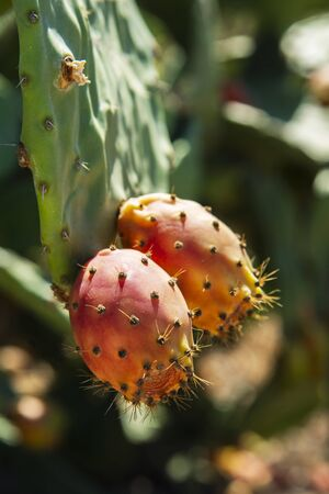 closeup of some ripe prickly pear fruits hanging from the opuntia plant Imagens