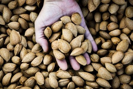 closeup of a young caucasian man with a pile of almonds in shell in his hand, freshly collected during the harvesting in an almond orchard in Catalonia, Spain Banque d'images - 129472948