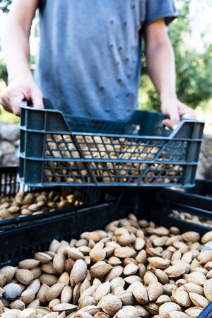 closeup of a young caucasian man stacking some plastic crates full of almonds in shell freshly collected during the harvesting in an almond orchard in Catalonia, Spain Banque d'images - 129472968