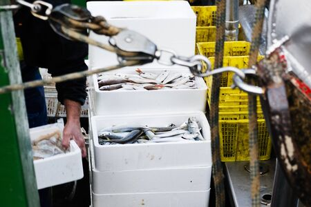 closeup of a fisherman on board stacking boxes with different fish freshly fished, as his boat arrives at the fishing por