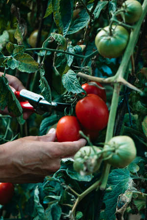 a young caucasian man is collecting ripe tomatoes in a plantation using a pair of pruning shears Banque d'images