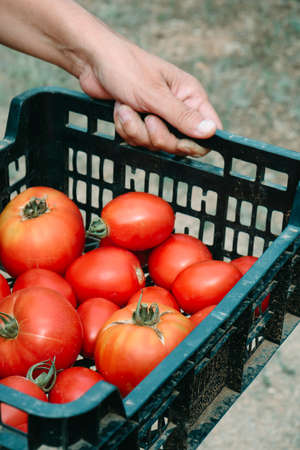 closeup of a young caucasian man holding a black plastic crate with some ripe tomatoes freshly collected  in a plantation Banque d'images