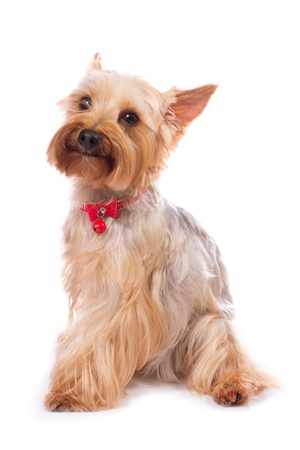 yorky: yorkshire terrier on the white background