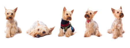 yorky: set with yorkshire terrier on the white background Stock Photo