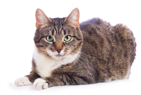 european cat on a white background photo