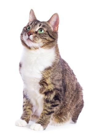 유럽 고양이 흰색 배경에 앉아
