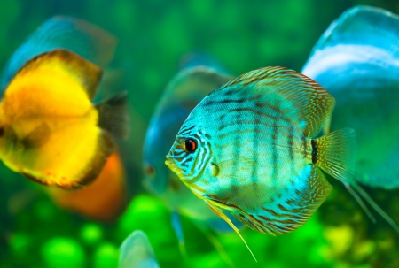 tropical discus  fish Stock Photo - 17776945