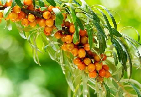 buckthorn berries on a branch