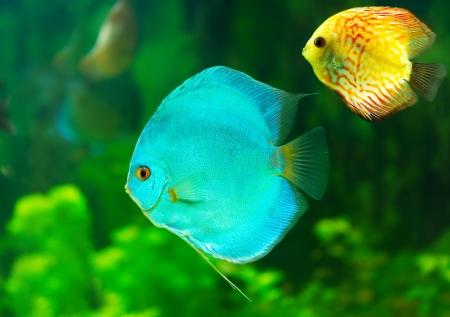 tropical discus fish Stock Photo - 23421799
