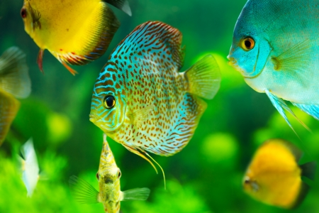 discus: tropical discus fishes