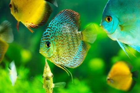 diskus: tropical discus fishes