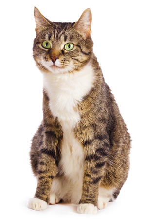 european cat isolated  on white background photo