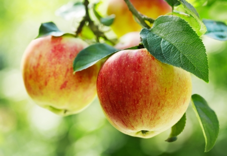 arbol de manzanas: manzanas rojas en un árbol Foto de archivo