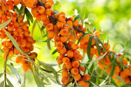 buckthorn:  branch of buckthorn berries Stock Photo
