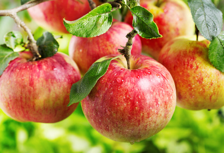 arbol de manzanas: manzanas rojas frescas en un árbol